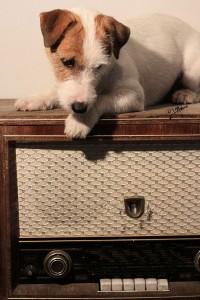 Koira stereoiden päällä