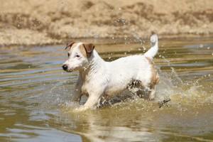 Koira vedessä