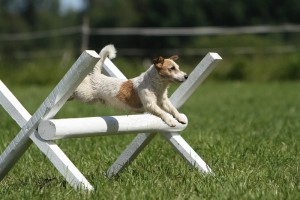 Koira hyppää esteen