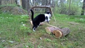 Kissa hyppää esteen.